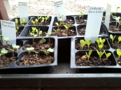 2012 2-21 Seedlings (1)